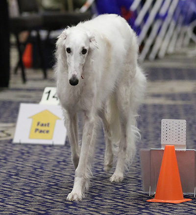 A Borzoi competing in Rally