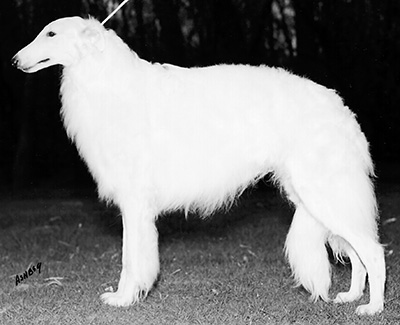 Top Conformation Borzoi 1998