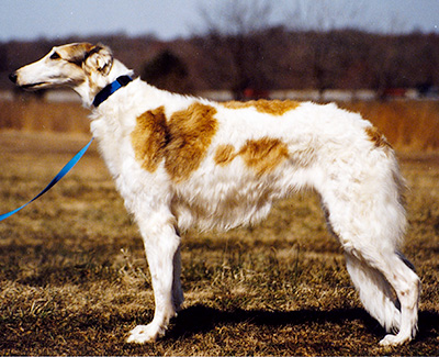 Top Coursing Borzoi 1988