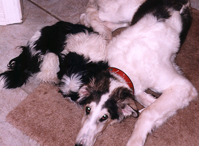 Borzoi and Shih Tzu
