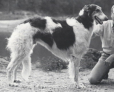 1981 Dog, 9 months and under 12 - 1st
