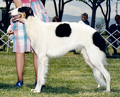 1987 Bitch, Bred by Exhibitor - 1st