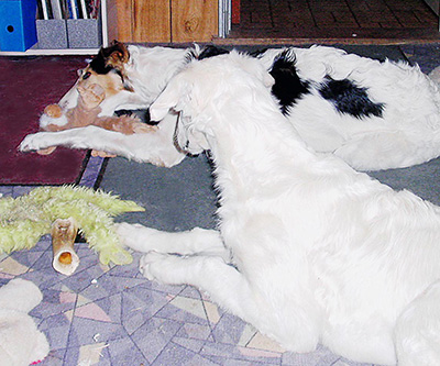 Borzoi Puppies and Toys